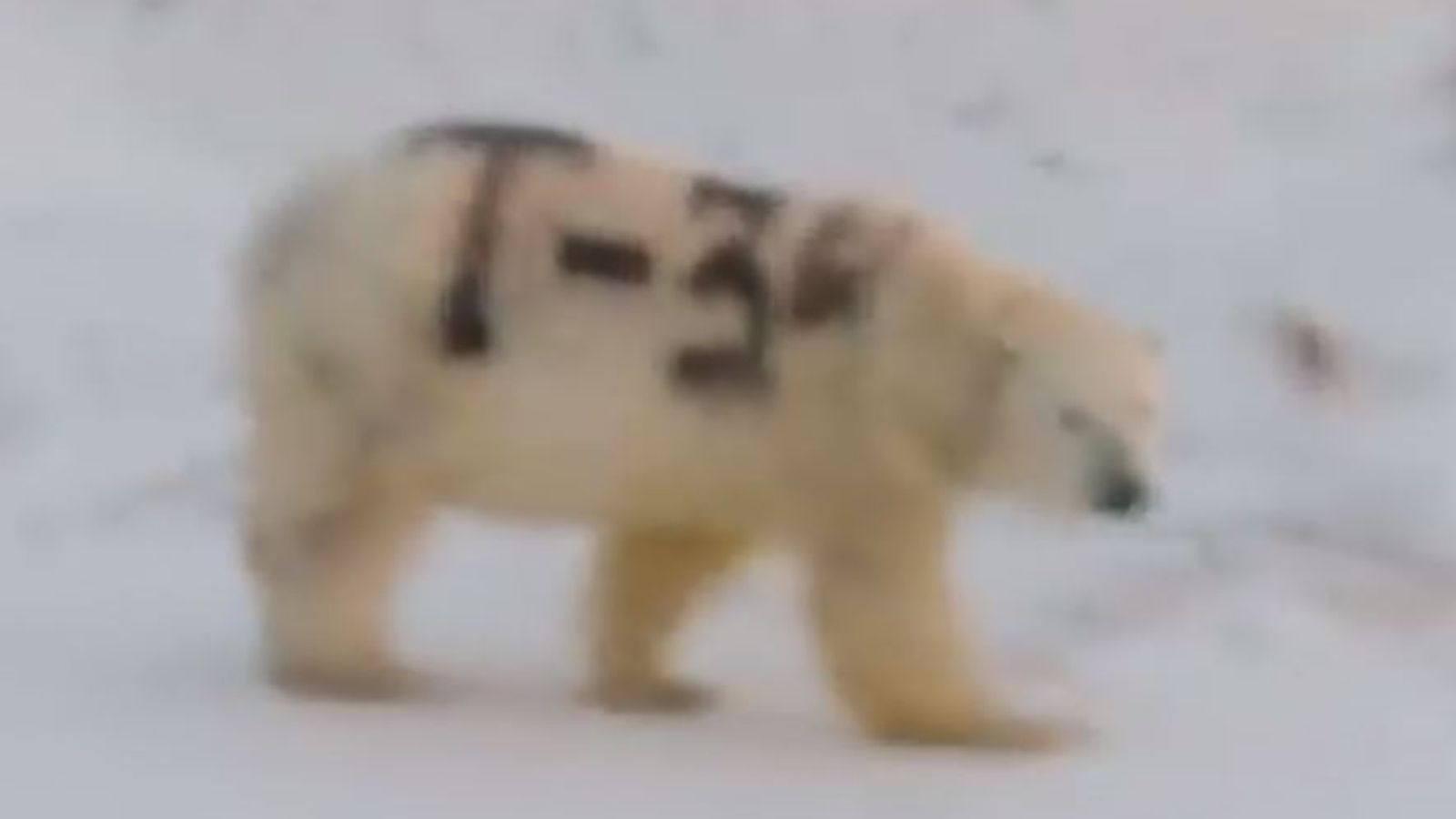 Polar bear spray-painted with 'T-34' confuses scientists