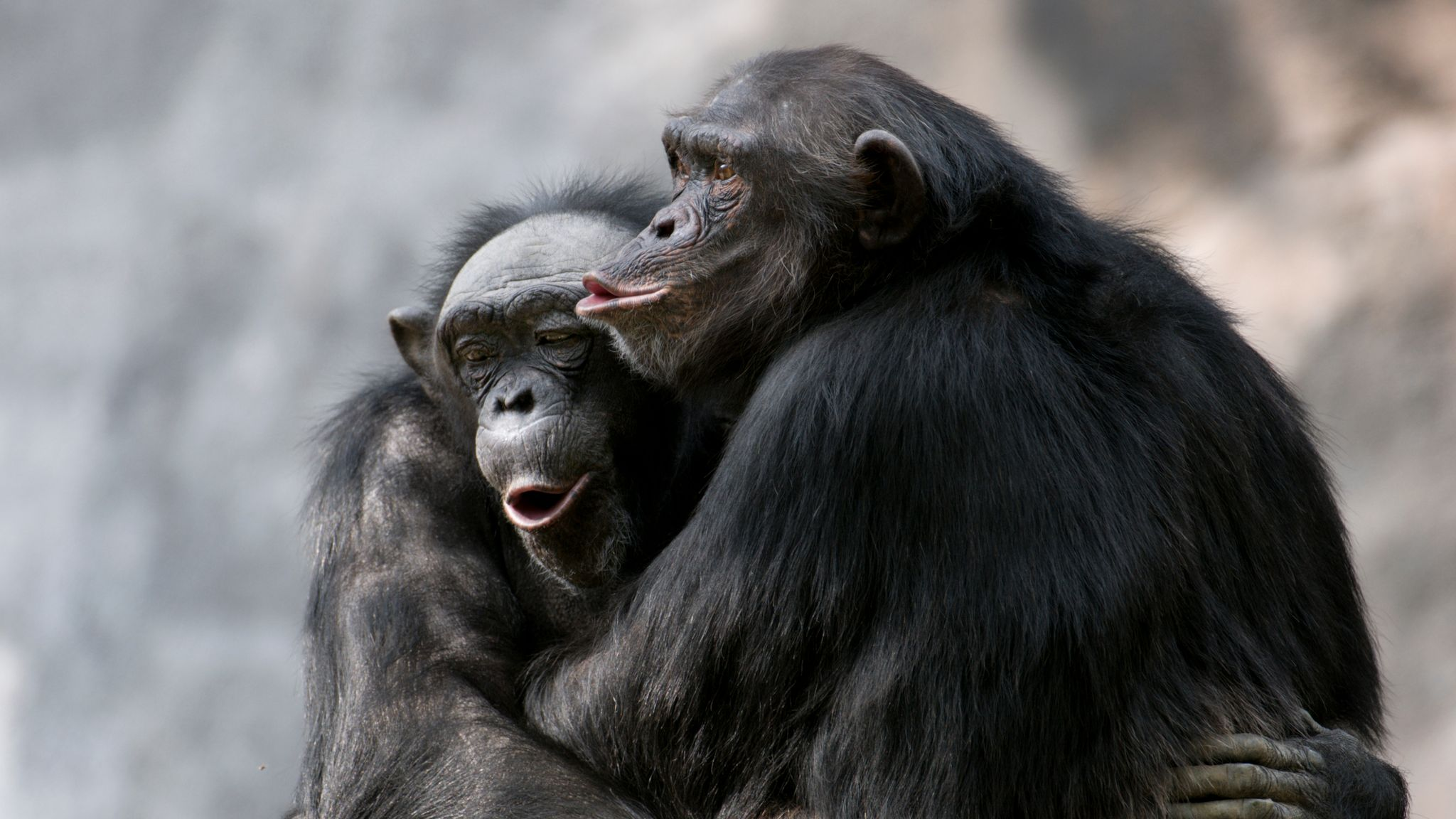 'Dancing chimps' like to clap along and tap their toes to music