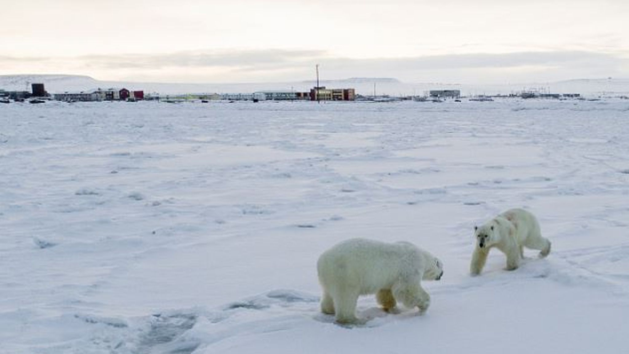 More than 50 hungry polar bears 'invade Russian village', says WWF