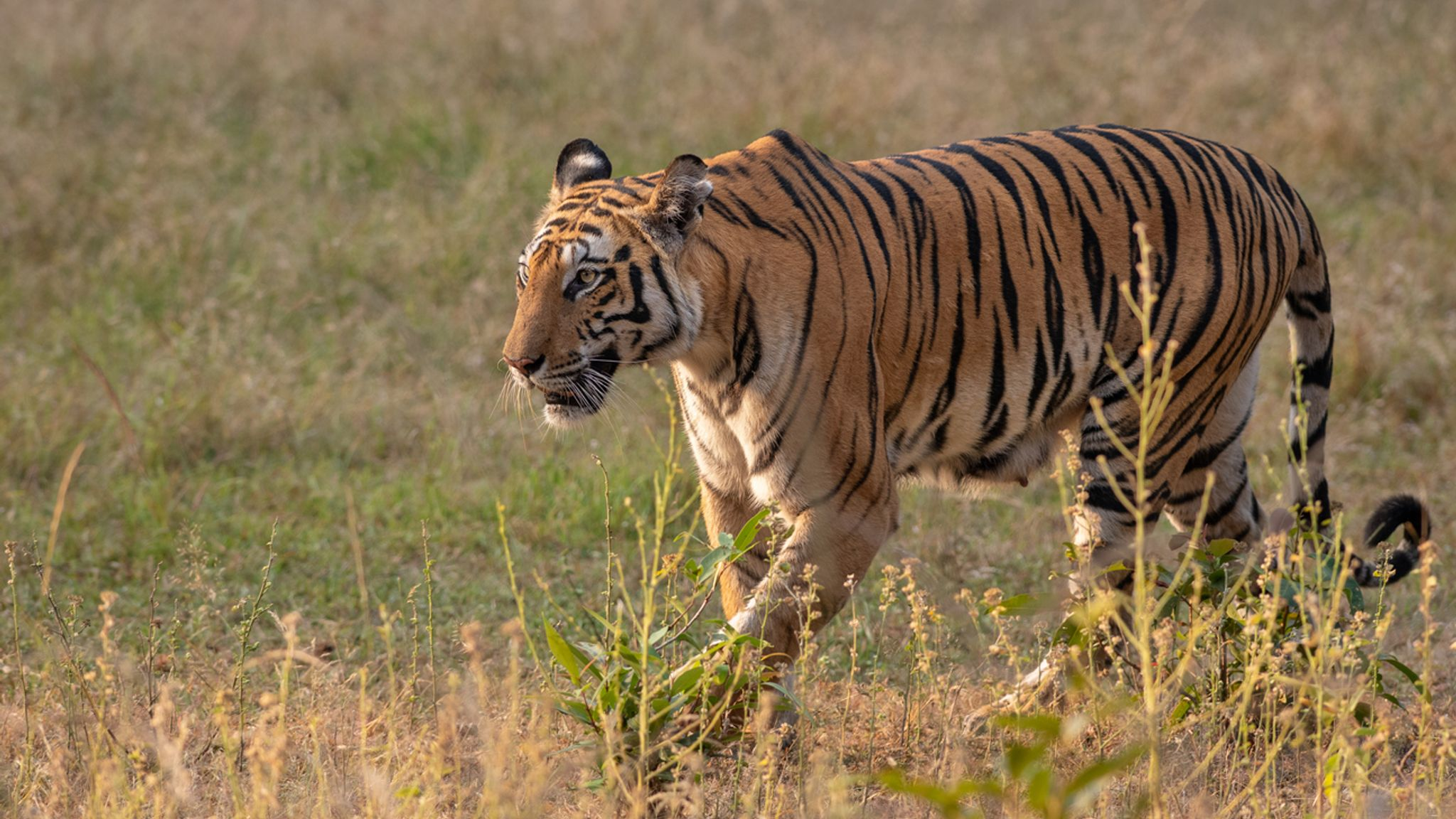 Tiger completes 'longest walk ever' across India