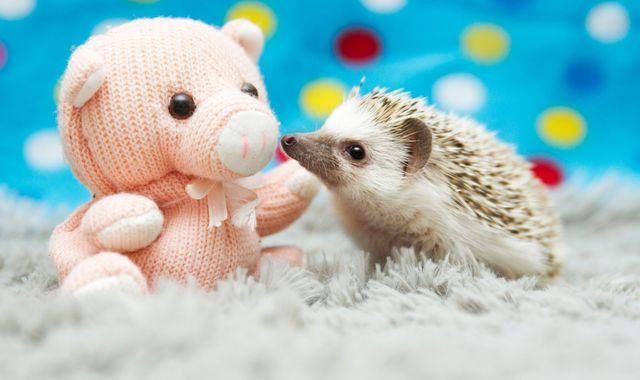 Cute but 'grotty and smelly' baby hedgehogs need you