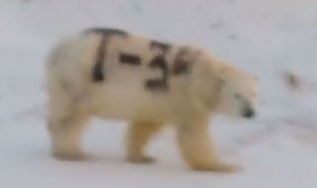 Wild polar bear spray-painted with 'T-34' confuses scientists