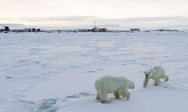 56 hungry polar bears 'invade Russian village', says WWF