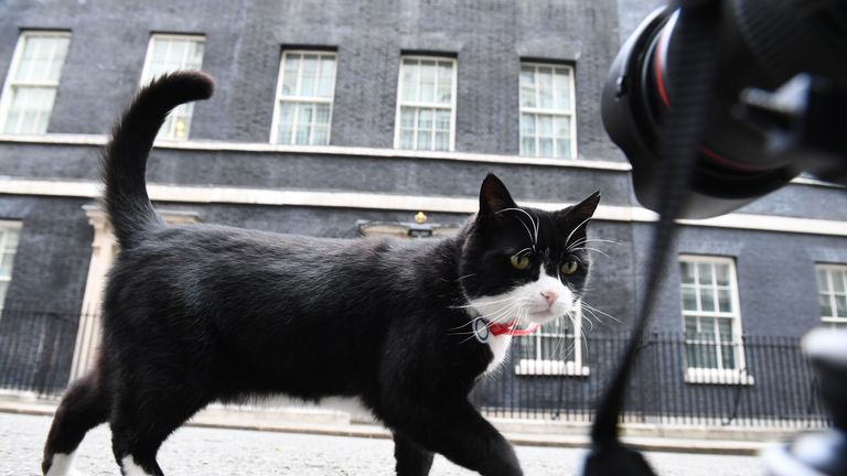 Palmerston, the Foreign & Commonwealth Office (FCO) cat investigates media cameras at ground level in front of 10 Downing Street in central London on June 9, 2017 after results in a snap general election show a hung parliament with Labour gains and the loss of the Conservative majority. British Prime Minister Theresa May faced pressure to resign on Friday after losing her parliamentary majority, plunging the country into uncertainty as Brexit talks loom. The pound fell sharply amid fears the Conservative leader will be unable to form a government and could even be forced out of office after a troubled campaign overshadowed by two terror attacks. / AFP PHOTO / Justin TALLIS        (Photo credit should read JUSTIN TALLIS/AFP via Getty Images)