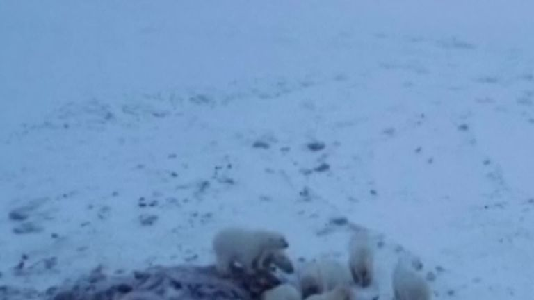 Polar bears feast on Walrus carcass near a Russian village