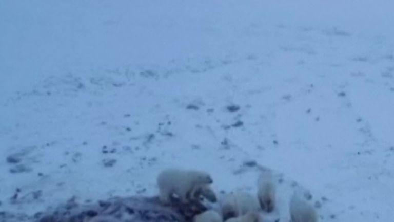 Polar bears feast on Walrus carcass near a Russian village