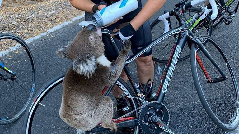 A koala receives water from a cyclist during a severe heatwave that hit the region, in Adelaide Hills, South Australia