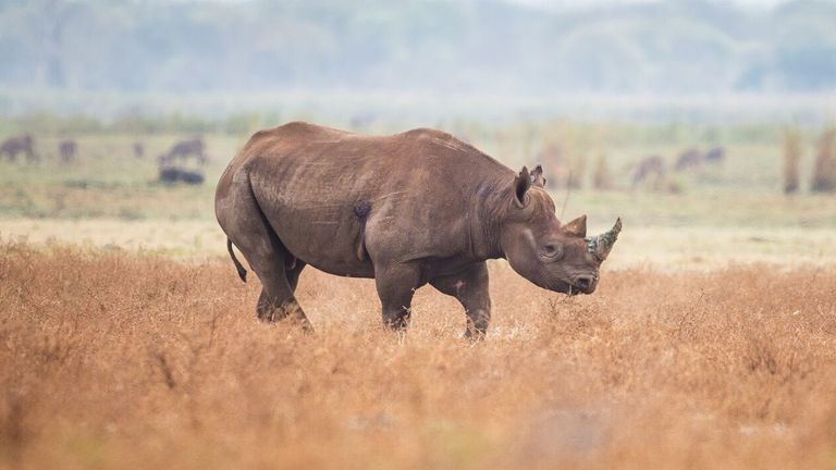 Undated handout photo issued by the Ministry of Defence (MOD) of a black rhino