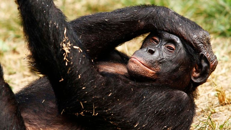 A bonobo lies at the world's only sanctuary for the endangered great ape at Lola Ya Bonobo just outside Congo's capital Kinshasa