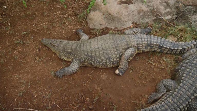 Crocodiles in Zambia