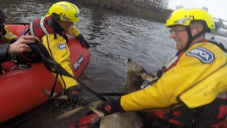 The RSPCA rescue a deer from the River Irwell