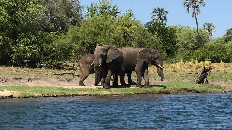 Elephants are killing and injuring people in Zambia due to drought