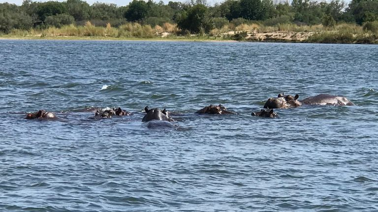 Hippos are becoming a more common sight in Zambia due to climate change-caused droughts