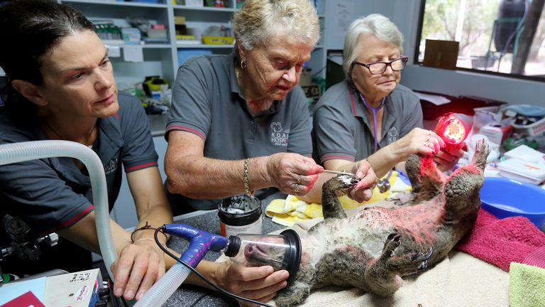 A koala is treated for burns after being rescued from a bushfire