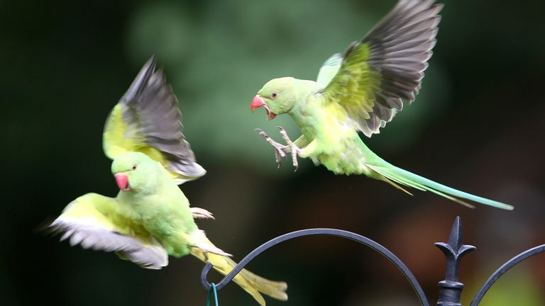 Parakeets are booming in Britain