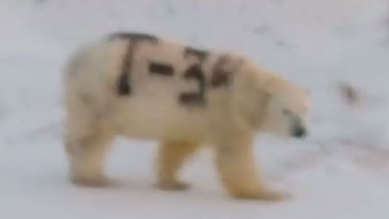 The animal was seen with the T-34 sprayed on its fur in the Far East of Russia. Pic: Sergey Kavry/Facebook