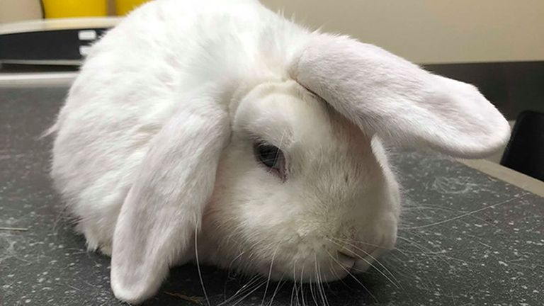 RSPCA undated handout photo of Wonky the lop-eared rabbit, who looks like a unicorn due to a wonky ear that stands upright on his head, is looking for a home. Staff at RSPCA Milton Keynes & North Bucks branch are hoping that the four year old's unusual look will bag him a new owner in time for Christmas. PA Photo. Issue date: Saturday December 7, 2019. Photo credit should read: RSPCA/PA Wire..NOTE TO EDITORS: This handout photo may only be used in for editorial reporting purposes for the contemporaneous illustration of events, things or the people in the image or facts mentioned in the caption. Reuse of the picture may require further permission from the copyright holder.