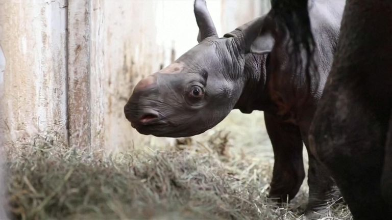 A rare black rhino born in Potter Park Zoo, Michigan.