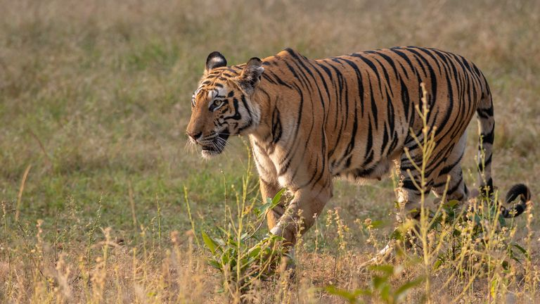 Earning its stripes: A tiger has reportedly walked more than 800 miles. File pic