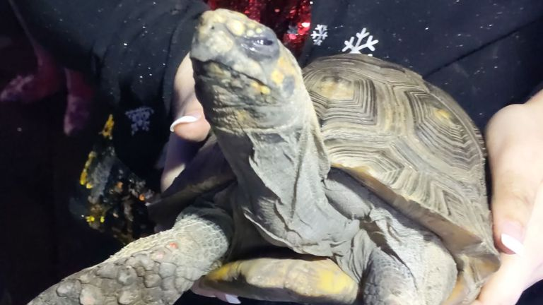 A 45-year-old tortoise, who was rescued from a house fire it started. Pic: Essex Country Fire and Rescue Service