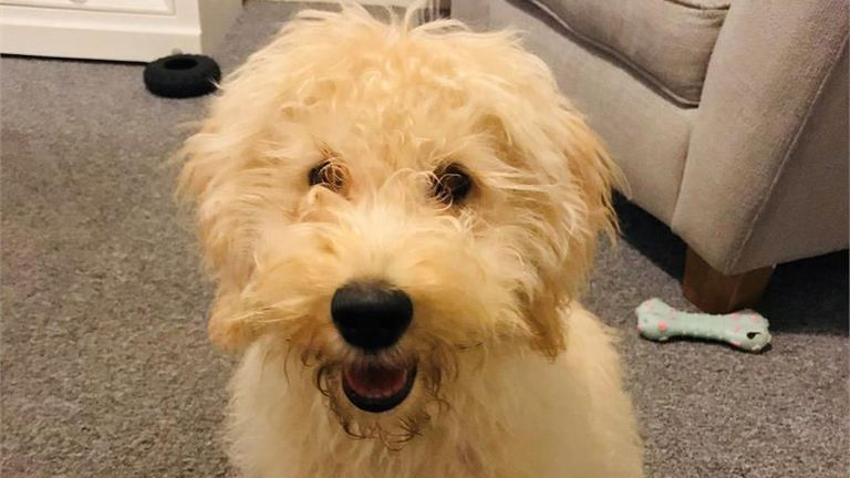 Waffle, a labradoodle puppy that was stolen at knifepoint while being walked by his female owner in the Belmont Road area of St Austell