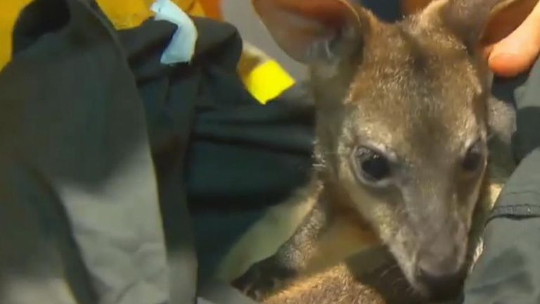 A wallaby has been saved by firefighters in Bilpin, New South Wales, as Australian bushfires continue to rage.