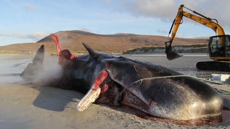 "A sperm whale found dead on the Isle of Harris had a ""huge ball"" of litter in its stomach."