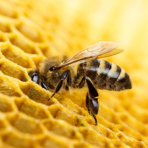 Too much sugar in nectar 'slows down bees'