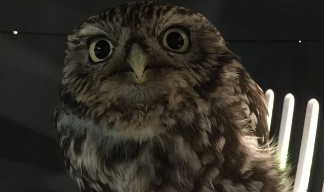 'Extremely obese' owl sheds some pounds after being too fat to fly