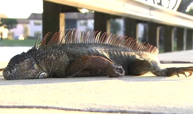 Frozen iguanas fall from trees as temperatures drop in Florida