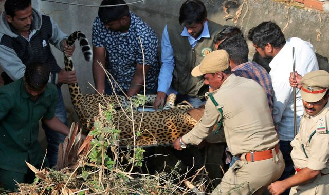 Leopard spotted running into house in India rescued by wildlife experts