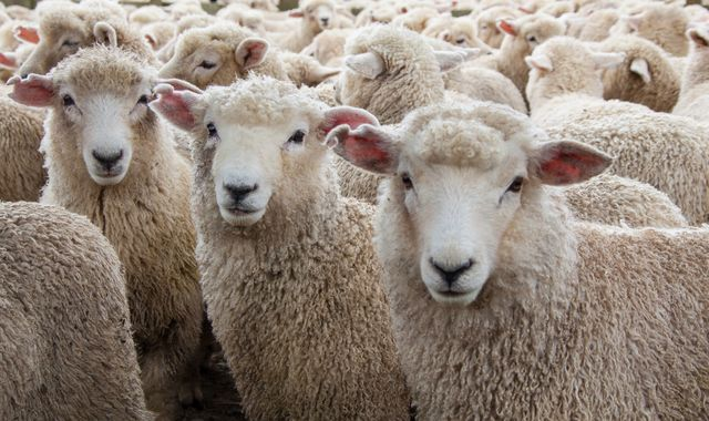 Sheep rustling rise could threaten human health as  rural crime increases during coronavirus pandemic