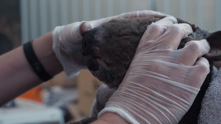 Many of the koalas brought in had burned paws and noses