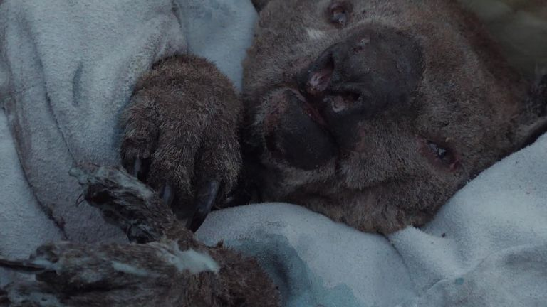 Millions of animals, including koalas have been killed or injured in the fires