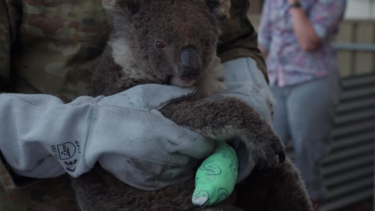 Kangaroo Island has lost an estimated 25,000 koalas - half its population