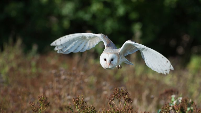 Wildlife including barn owls could be impacted by the project