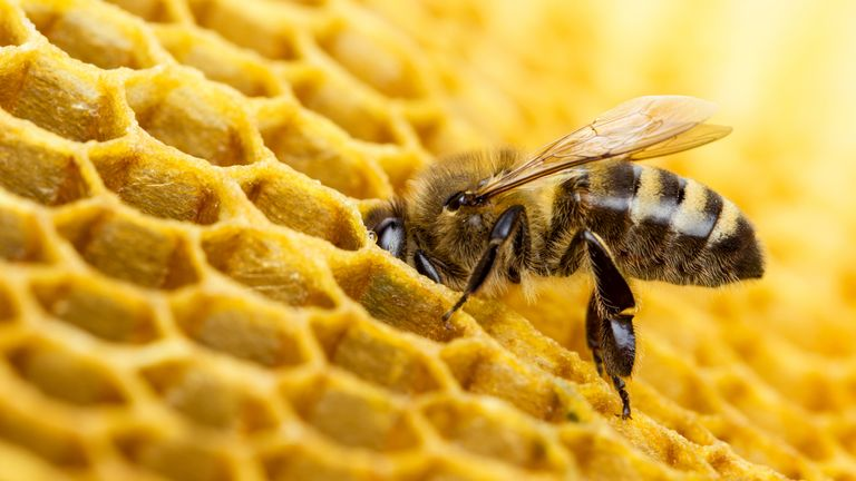 The more  sugar nectar contains, the thicker and stickier it becomes, making it harder for bees to regurgitate it. File picaccording to scientists.