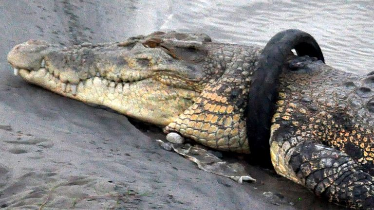 A crocodile with a tyre around its neck