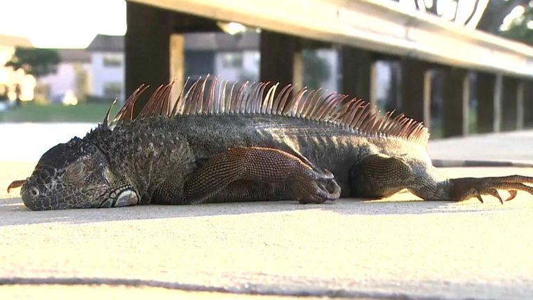 Frozen iguanas have been falling from trees in Florida