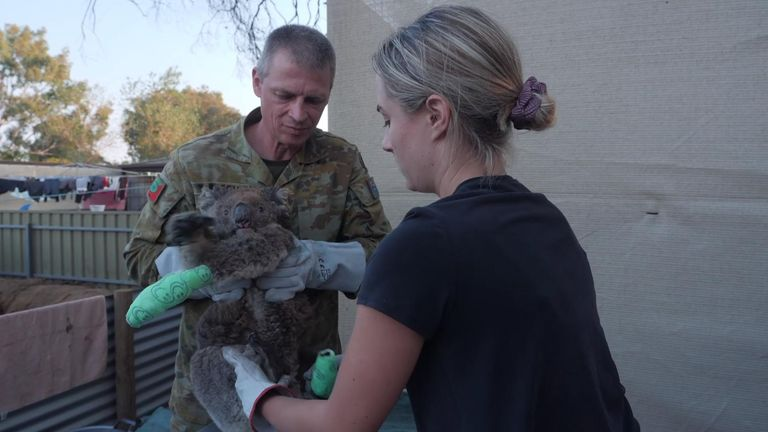 Army and private vets work with volunteers to bandage koalas brought into the animal refuge
