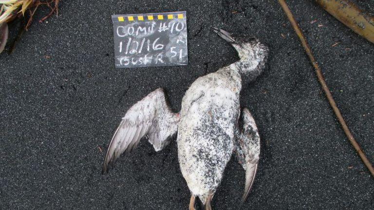 A recently dead common murre found by a citizen scientist on a routine monthly survey in January 2016. An intact, fresh bird indicates scavengers have not yet arrived. This carcass has probably only been on the beach a few hours.COASST