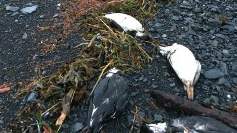On Jan. 1 and 2, 2016, 6,540 common murre carcasses were found washed ashore near Whitter, Alaska, translating into about 8,000 bodies per mile of shoreline — one of the highest beaching rates recorded during the mass mortality event.David B. Irons