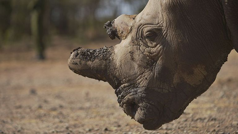 This photo taken on January 27, 2015 shows a northern white female rhinoceros named Najin, one of only five members of the sub-species left on the planet, at Ol Pejeta conservancy, some 290 km north of the Kenyan capital, Nairobi, where three of the rhinos are housed. Conservationists and scientists met in Kenya this week to come up with a last ditch plan to save the northern white rhinoceros from extinction. AFP PHOTO / TONY KARUMBA (Photo credit should read TONY KARUMBA/AFP via Getty Images)