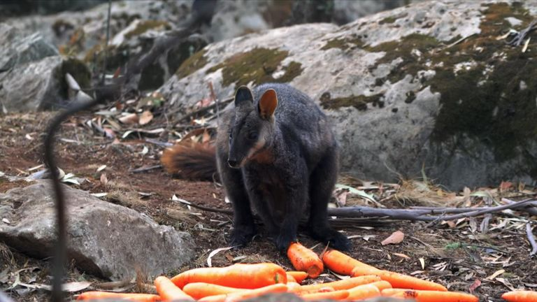An endangered rock-wallaby eating an airdropped carrot