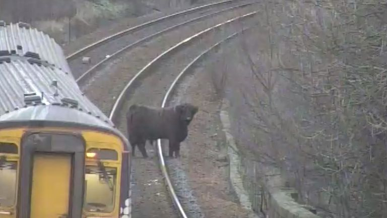 Council and rail staff safely returned the cow to the park within a few hours. Pic: @ScotRail