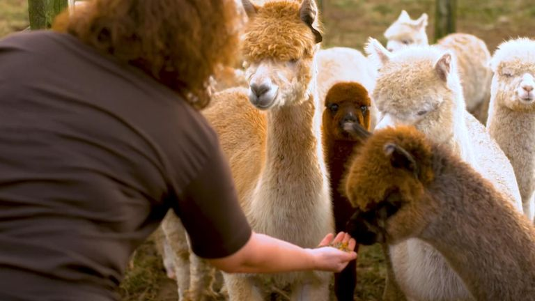 Still from Beth Rigby's VT on former Labour heartlands. Pictured is Shayne Smith and her alpacas in Durham North West