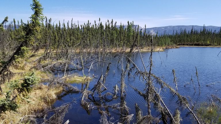 Trees struggle to remain upright in a lake formed by abrupt permafrost thaw. Credit: David Olefeldt