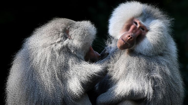 A troop of baboons escaped from a medical facility in Sydney. File pic