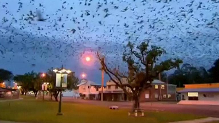 An enormous swarm of fruit bats swoops over a Queensland town