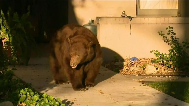 The bear was seen wandering around streets